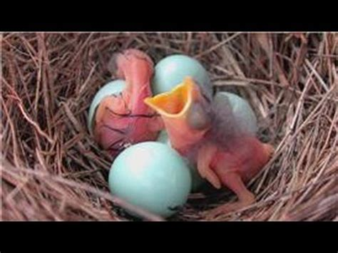 bluebirds when do bluebirds hatch youtube