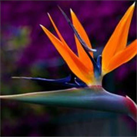 fiore strelitzia uccello paradiso piante da giardino uccello