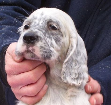 female english setter dog names 10 ideas about english setter puppies on pinterest
