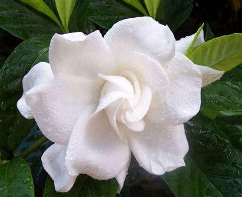 fiori profumati bianchi lasciati conquistare dai profumatissimi fiori bianchi