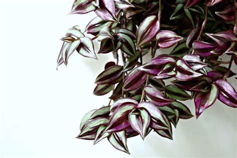 piante ricadenti da interno tradescantia piante da interno tradescantia da