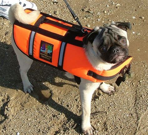 pug leather jacket pugs in jackets