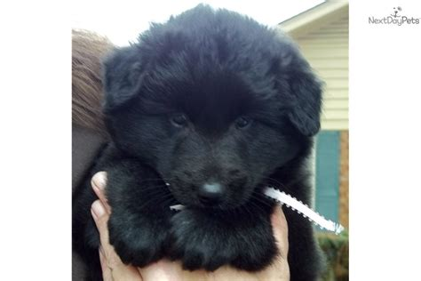 belgian sheepdog puppies for sale belgian sheepdog puppy for sale near hinesville 666aff0f e5e1