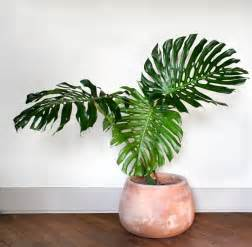 Indoor House Plants to appear as the plant gets older when the conditions are right