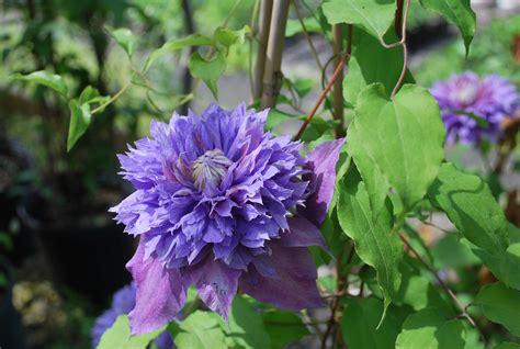 flowering deciduous shrubs deciduous shrubs planters choice