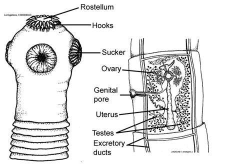 tapeworm diagram