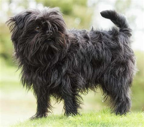 Breeds That Shed Less by Hypoallergenic Breeds Dogs That Don T Shed K9