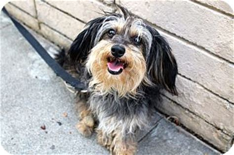 havanese yorkie mix los angeles ca havanese yorkie terrier mix meet mike a for adoption