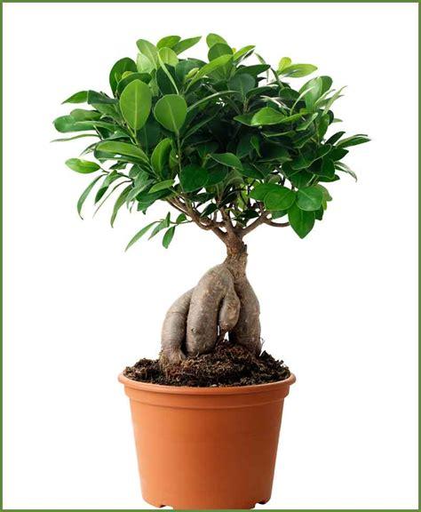 Sho Natur Ginseng ficus ginseng bonsai