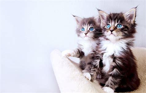 wallpaper cats baby baby cat desktop wallpaper