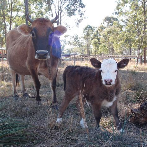 Has Calves by Our Experience With House Cows Cows With Horns