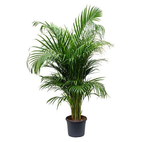 chrysalidocarpus lutescens areca palm  images