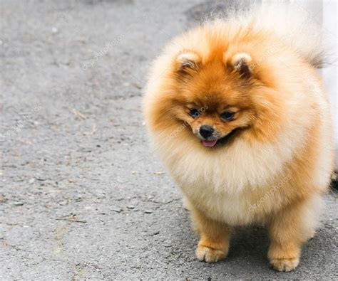 tiny small little fluffy dog stock photo 169 evpv 52258381