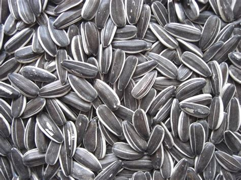 is black sunflower seeds for birds sun food sunflower seeds