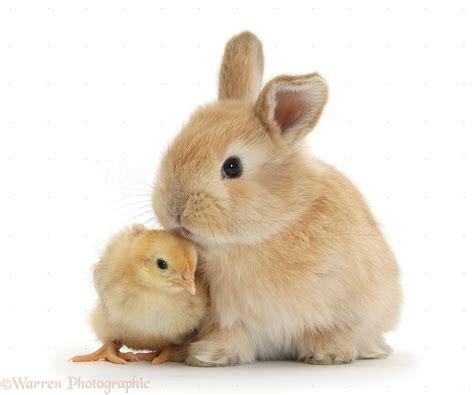 cute rabbits and chicks cute sandy bunny and yellow bantam chick photo wp33861