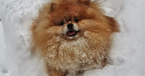 pomeranian in heat symptoms pawhealer 174 picture asti diagnosed collapsed trachea herbs as an alternatve
