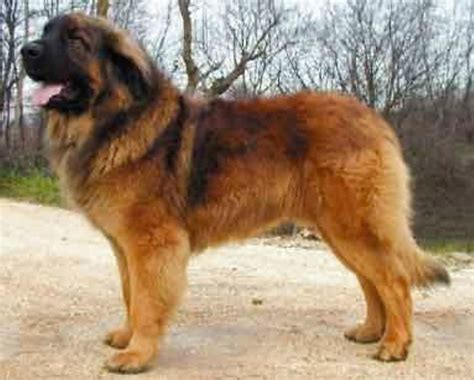 leonberger dogs leonberger bigger breed puppies dogs