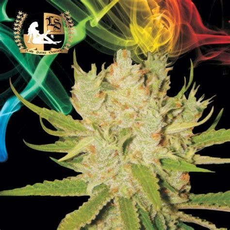 lade marijuana lade x cannabis indica bud oc white widow x ak