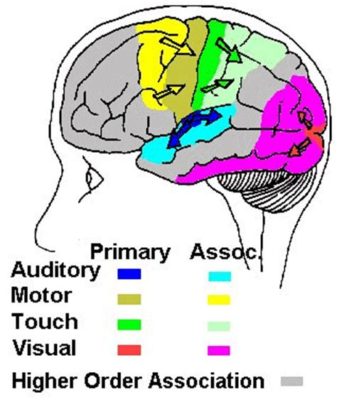 sensory and motor areas of the brain association cortex