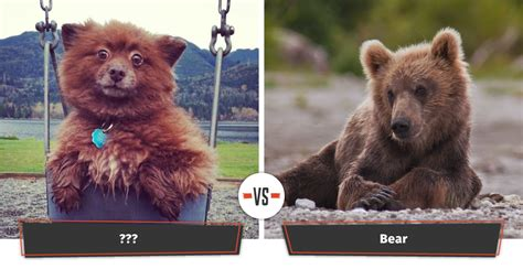 dogs that look like dogs that look like bears 18 puppies that look like bears