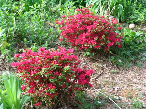 what color is azalea hino crimson azalea color