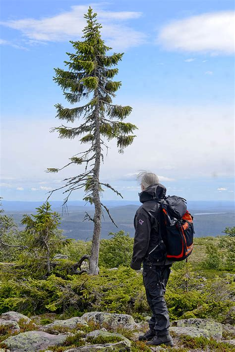 what is the oldest 9 500 year tree found in sweden is the world s oldest tree bored panda