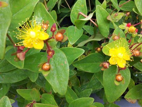 iperico fiore iperico hypericum coltivazione