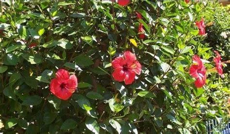 Tanaman Bunga Sepatu Berwarna Merah Berdaun Besar Mmbb Informasi Seputar Tanaman Hias