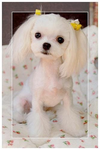 asian cuts for dogs japanese grooming imgur peluqueria canina pinterest