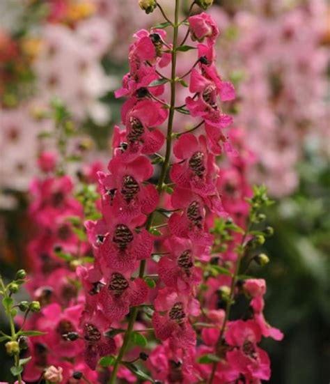 Tanaman Angelonia Putih kumpulan nama bunga lengkap dari a z beserta gambar dan penjelasannya bibit