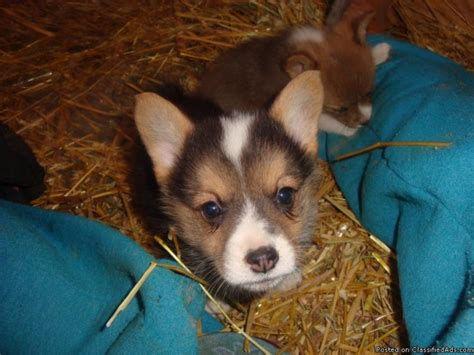 corgi price pembroke corgi puppies price 275 for sale in bismarck arkansas arkads us