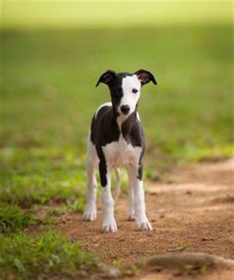 Ridiculously Cool Website Whippet Grey by 1000 Ideas About Italian Greyhound Puppies On