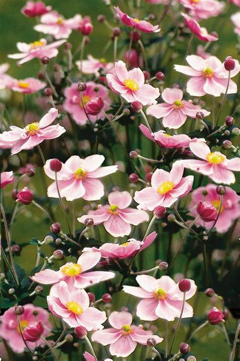 japanese anemone anemone hupehensis september charm from