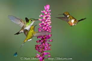hummingbird rate every animal