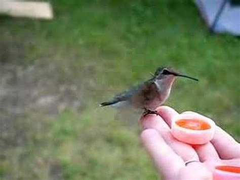 hand feeding hummingbirds youtube