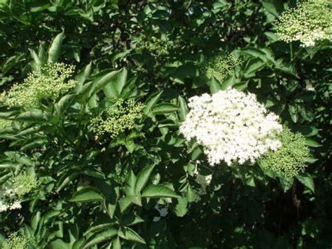 fiore di sambuco coltivazioni forestali sambuco