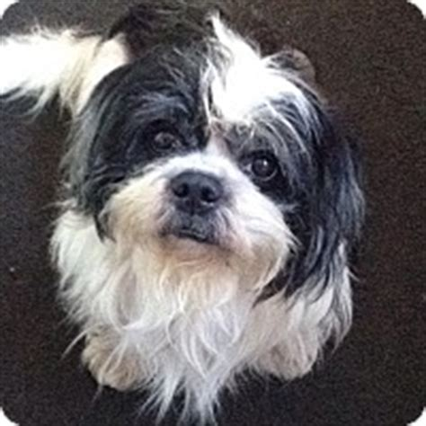 shih tzu rescue nj new jersey nj shih tzu pekingese mix meet bricktown nj arnie a for adoption