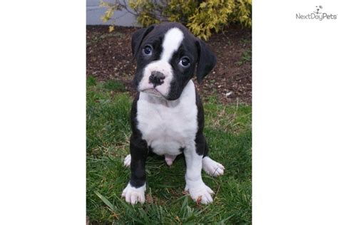 black and white boxer puppies meet colson a boxer puppy for sale for 600 colson black white www
