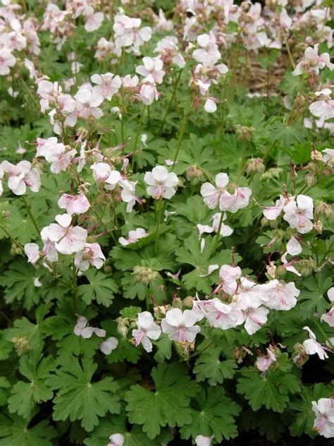 2015 perennial plant association plant of the year