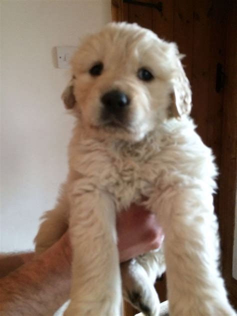 pets4homes golden retriever golden retriever puppies for sale bristol bristol