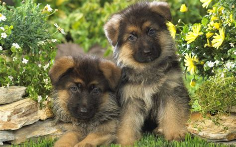 german dogs german shepherd puppies wallpaper 16885