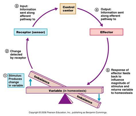 feedback diagram biology positive feedback loop diagram pictures to pin on