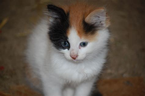 naming your calico cat name ideas for calico cats page 1 dairy good life farm cats and kittens