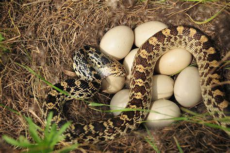 imagenes de animales que nacen del huevo las serpientes no siempre nacen de un huevo