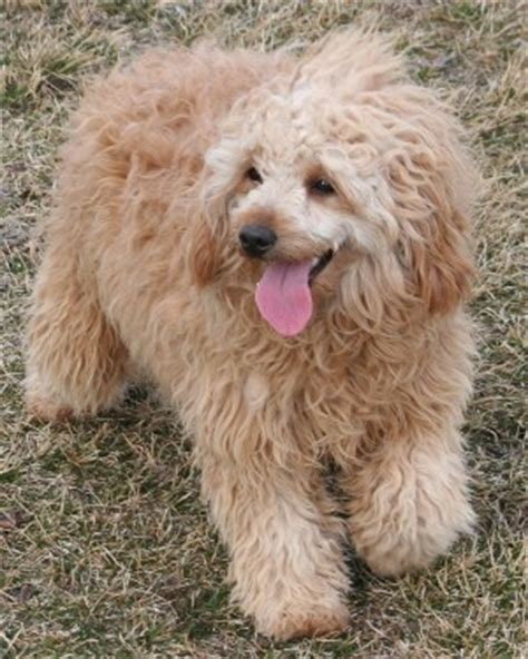 mini goldendoodles for sale in iowa iowa f1b goldendoodles