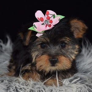 yorkies for sale 200 yorkie puppy for sale puppies for sale in pa md ma ri