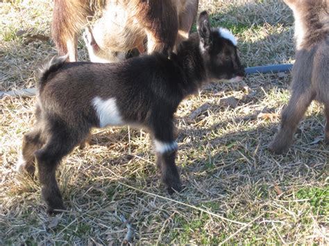 laughing duck farm baby goat names and farm friend friday