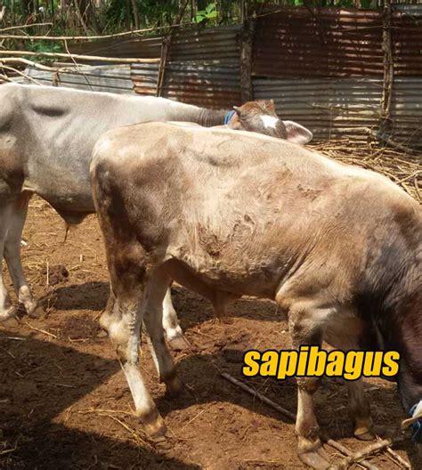 Bibit Sapi Po perkembangan harga sapi di pasar pon bangsri jepara 2016