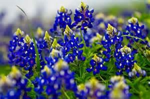 texas bluebonnets simply camden