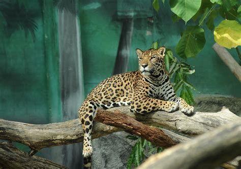 child falls into jaguar exhibit at arkansas zoo popsugar